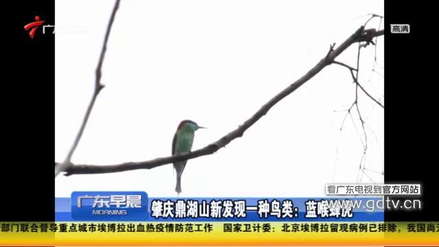 肇庆鼎湖山新发现一种鸟类:蓝喉蜂虎