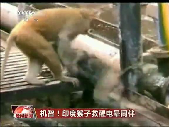 机智 印度猴子救醒电晕同伴