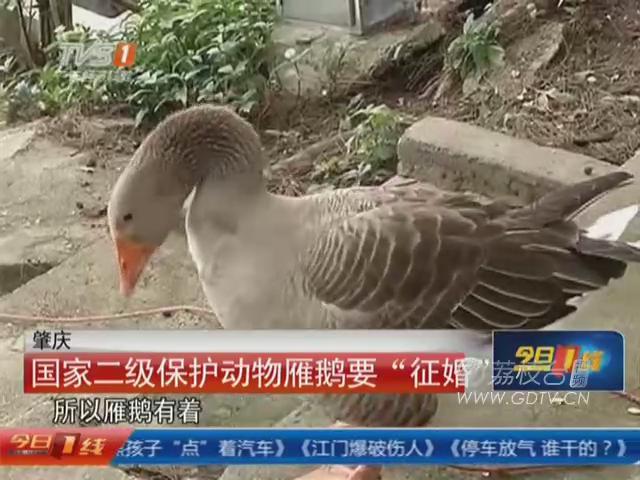 """肇慶:國家二級保護動物雁鵝要""""征婚"""""""