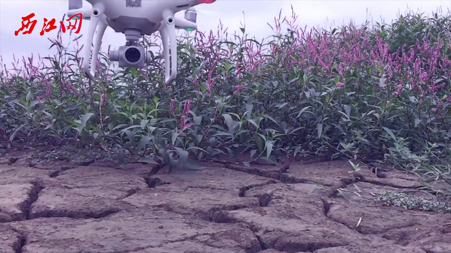 在无人机镜头里,齐乐娱乐DT版老虎机这片罕为人知的花田竟这般美丽!