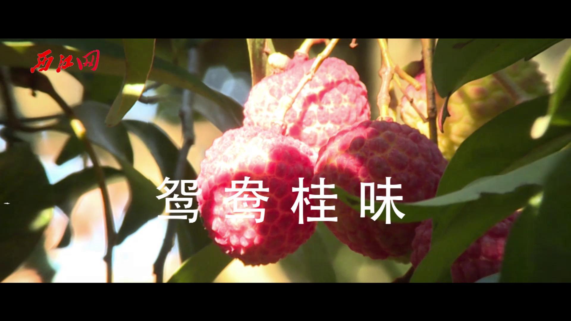 德慶官圩荔枝飄香正當時 果園經濟助力鄉村發展