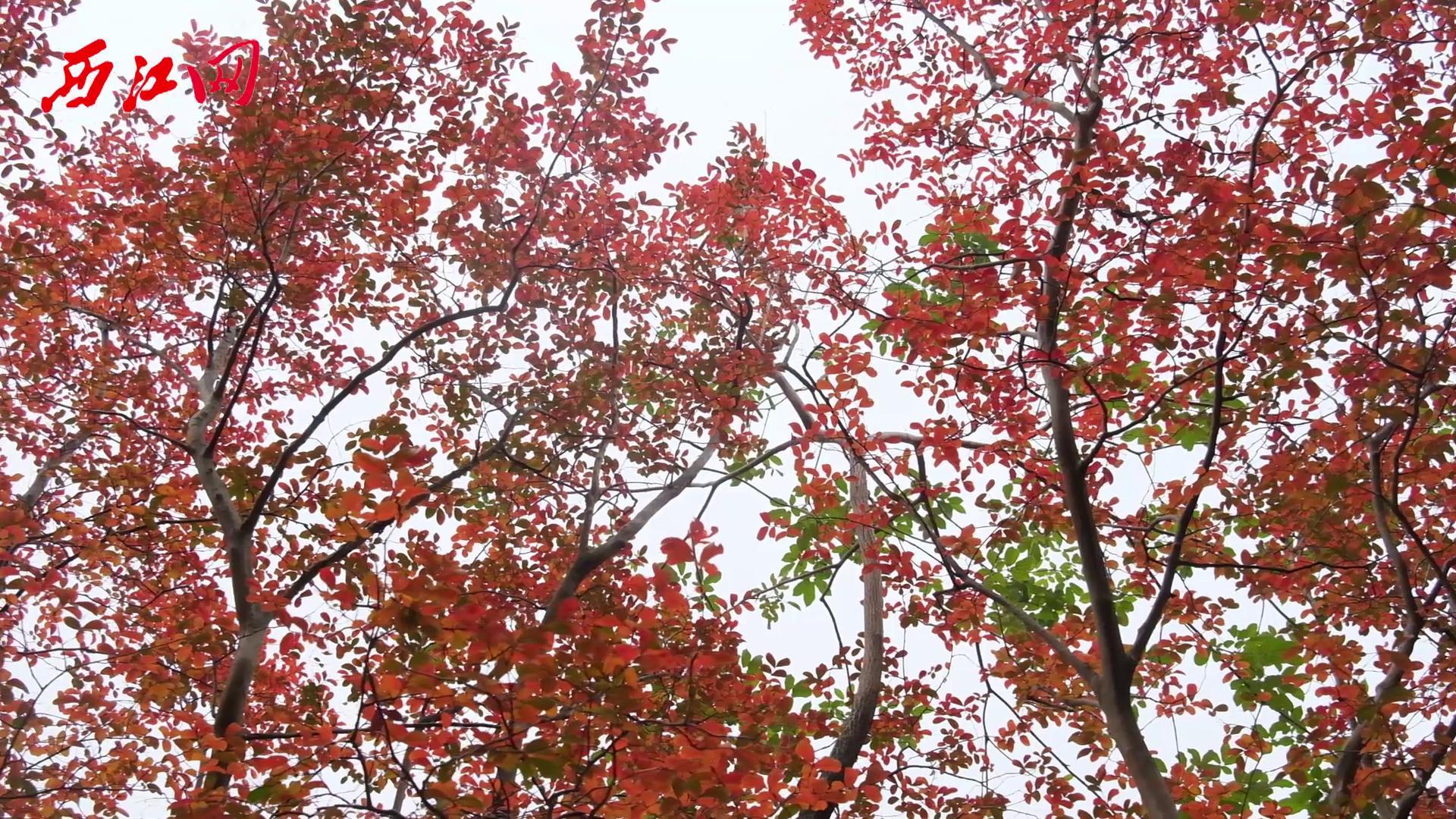 肇慶的冬天,有一種邂逅叫做紅葉正當時!