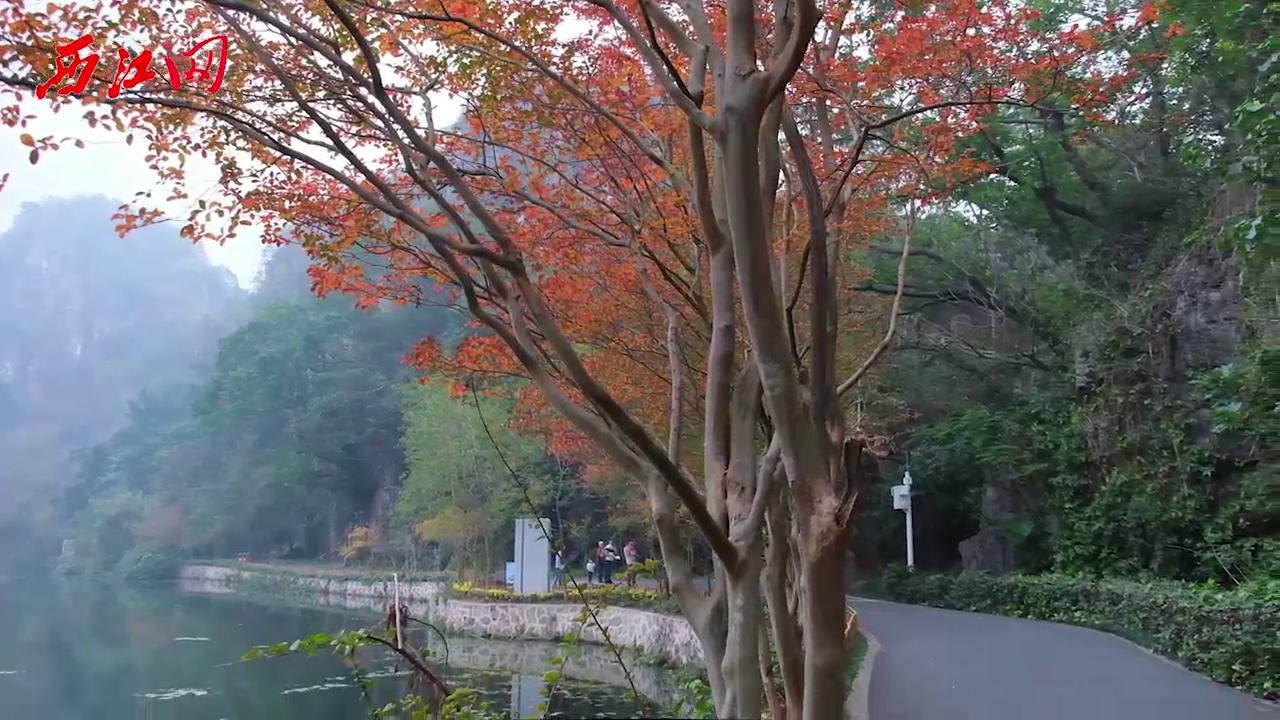 肇慶七星巖的冬天,紅葉在燃燒(抖音)