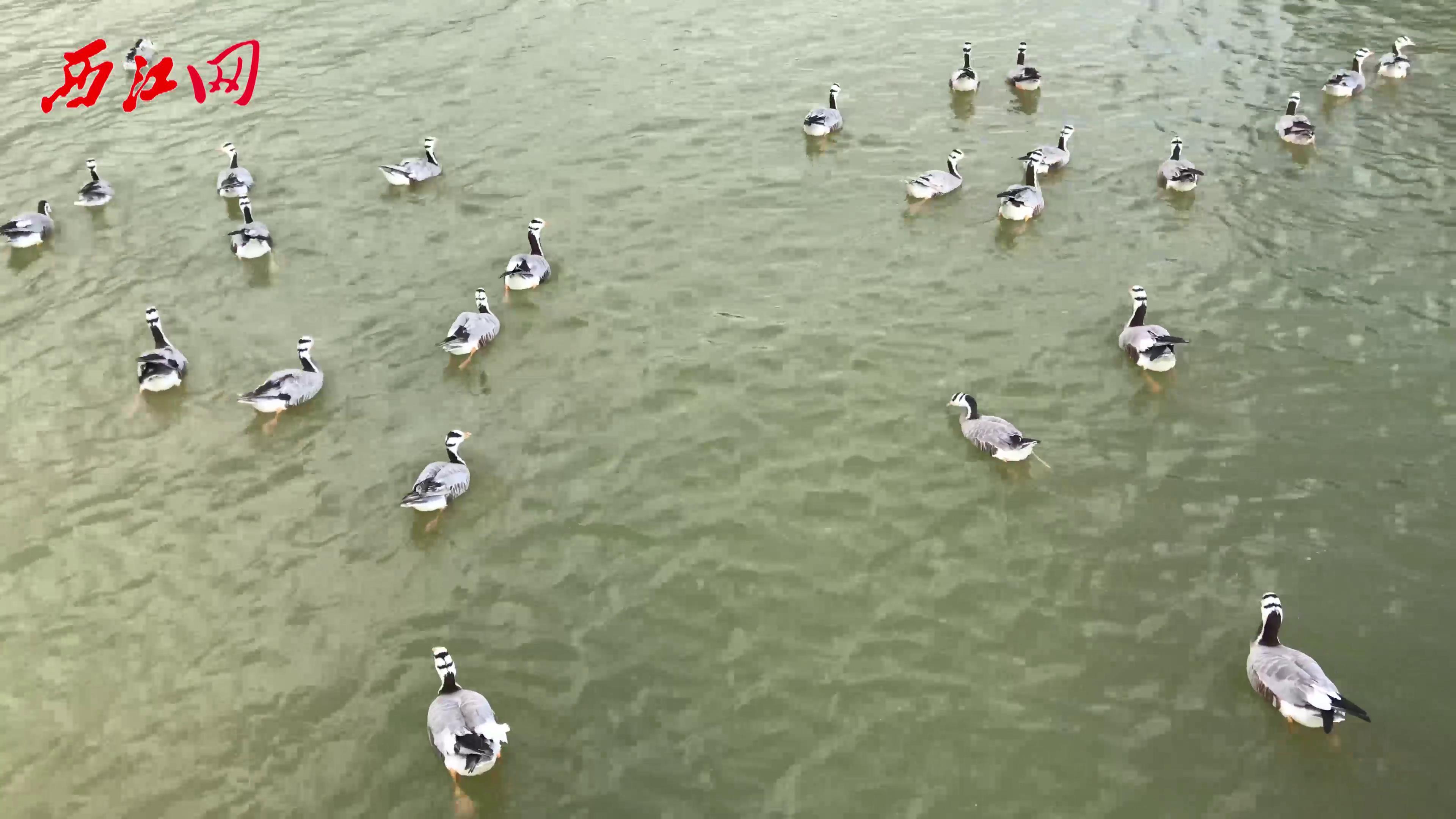 春節假期最網紅熱門地 星湖國家濕地公園 百鳥天堂 萬鳥飛翔!