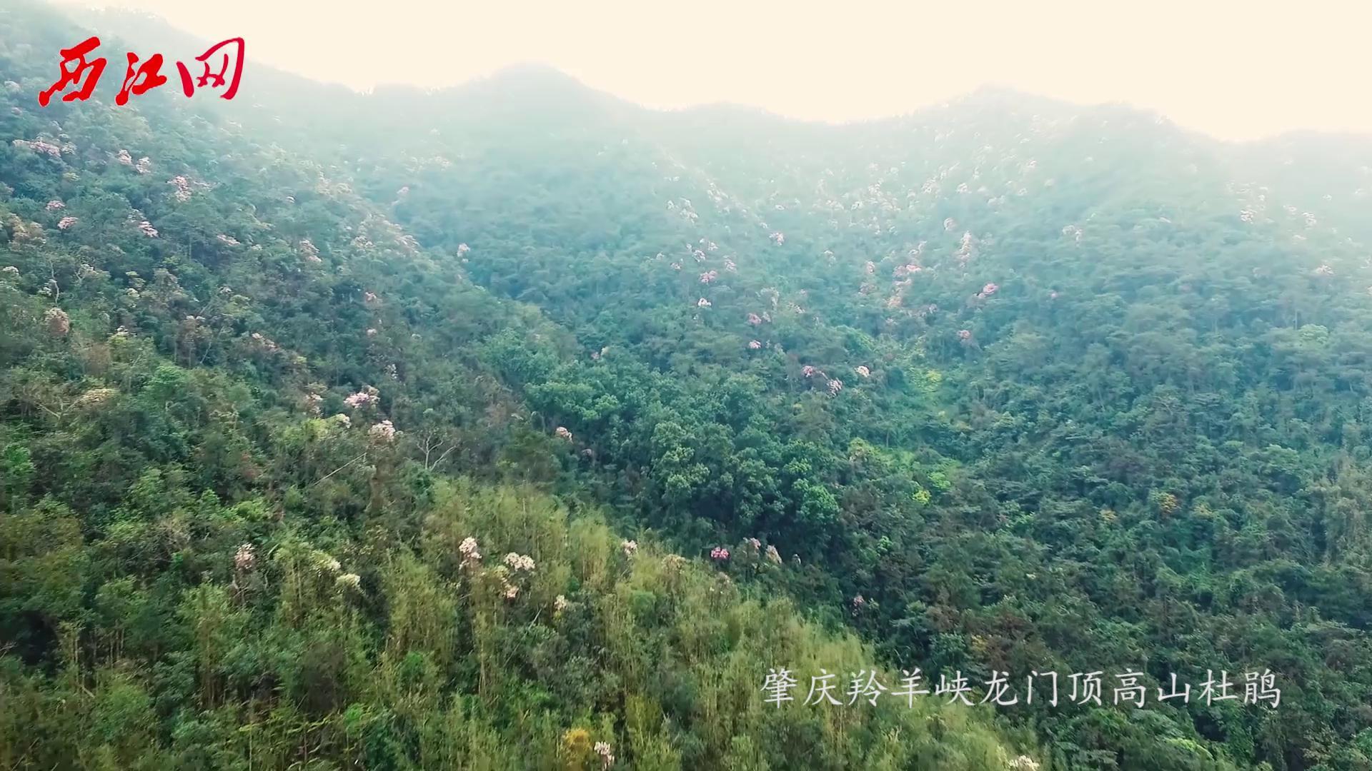 杜鵑花盛開 國家地理一般的肇慶秘境之地