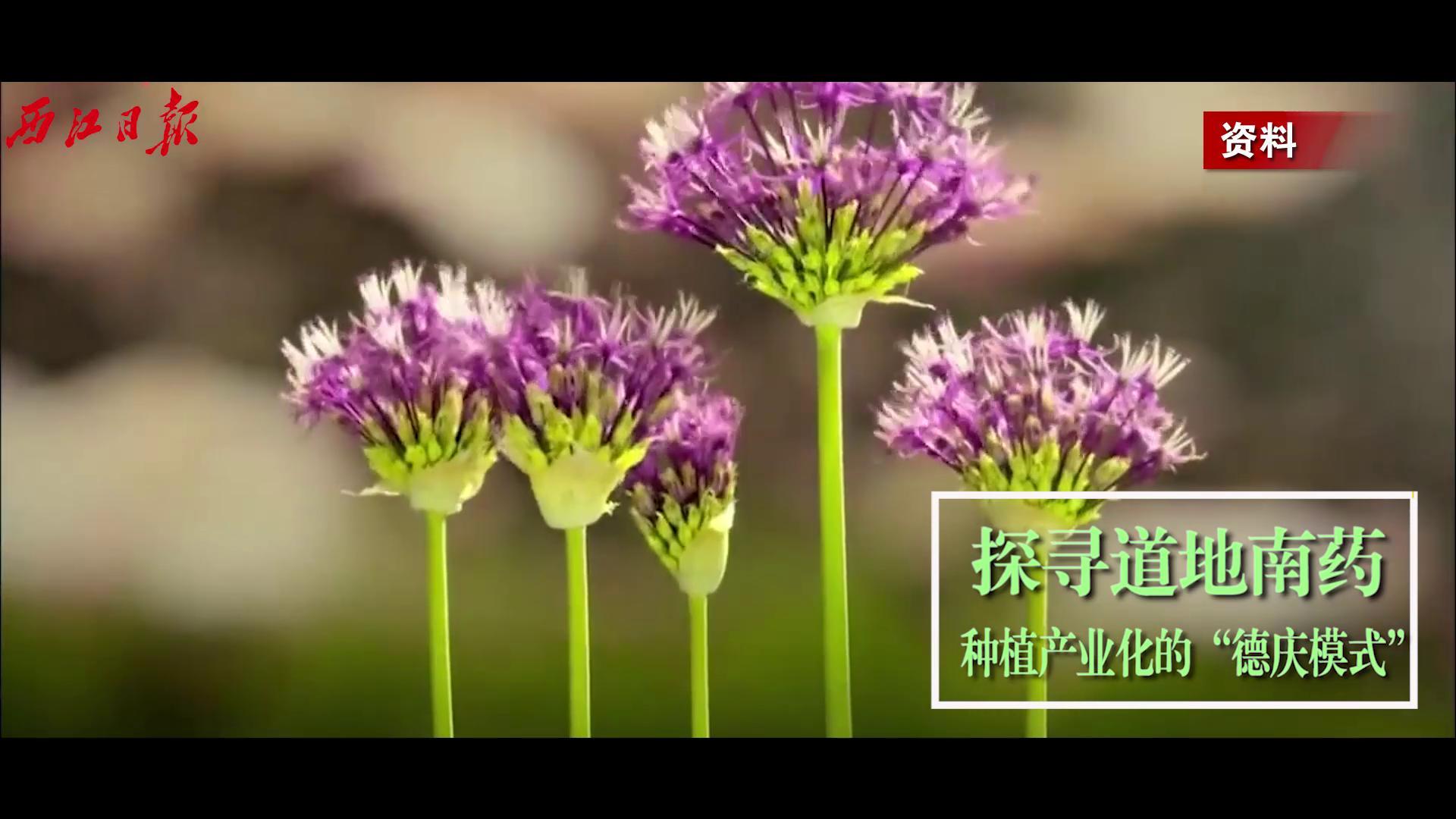 """探尋道地南藥種植產業化的""""德慶模式"""""""