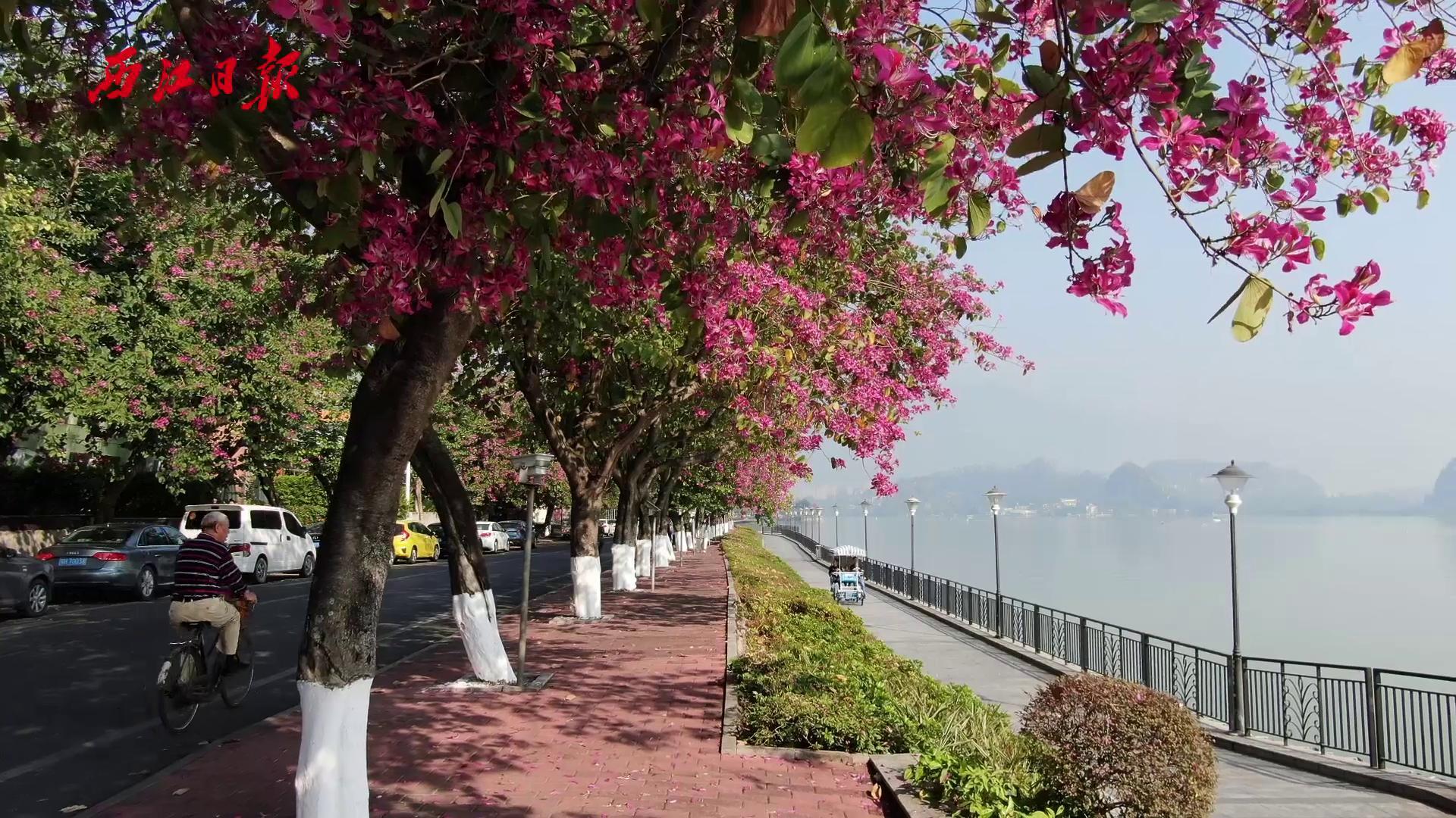 醉美星湖紫荊花堤,是深秋時光里肇慶最美最浪漫的景色