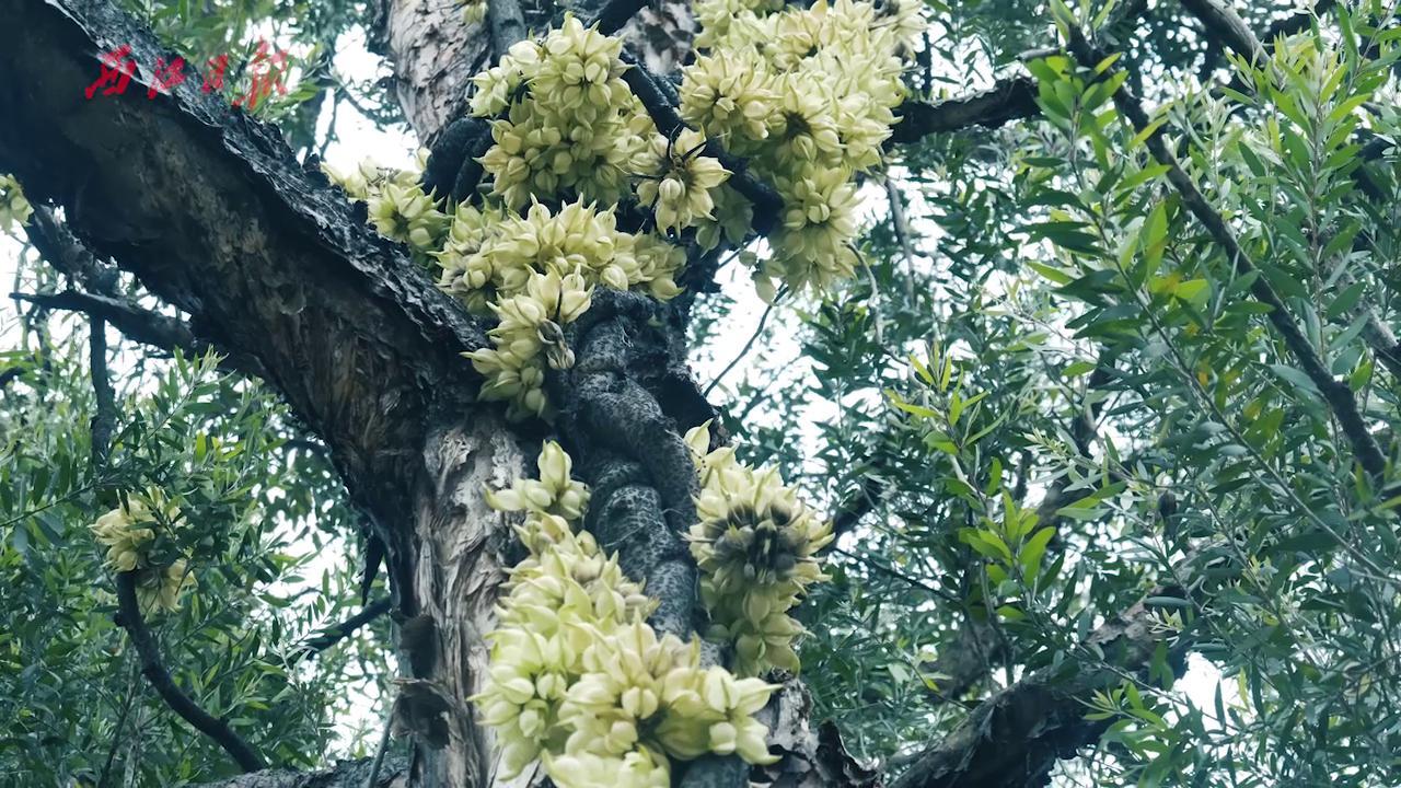 七星岩春天秘境:森林精灵禾雀花,仿佛小鸟在歌唱!