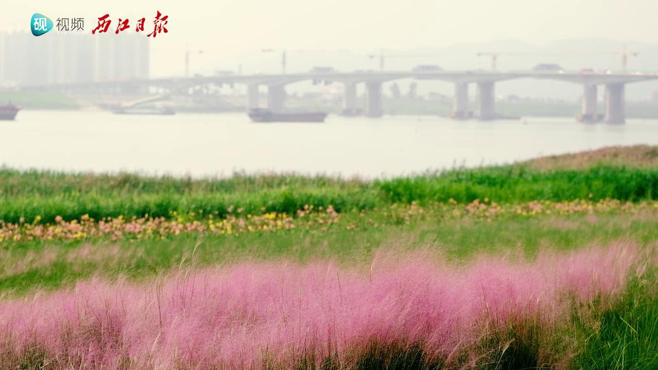 肇庆江滨公园:这里有一片粉红色的花海