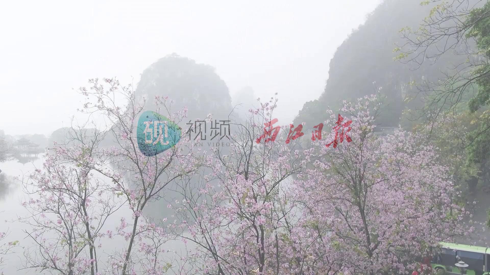 烟雨星湖:七星岩里的宫粉紫荆花,美到深处不自知!