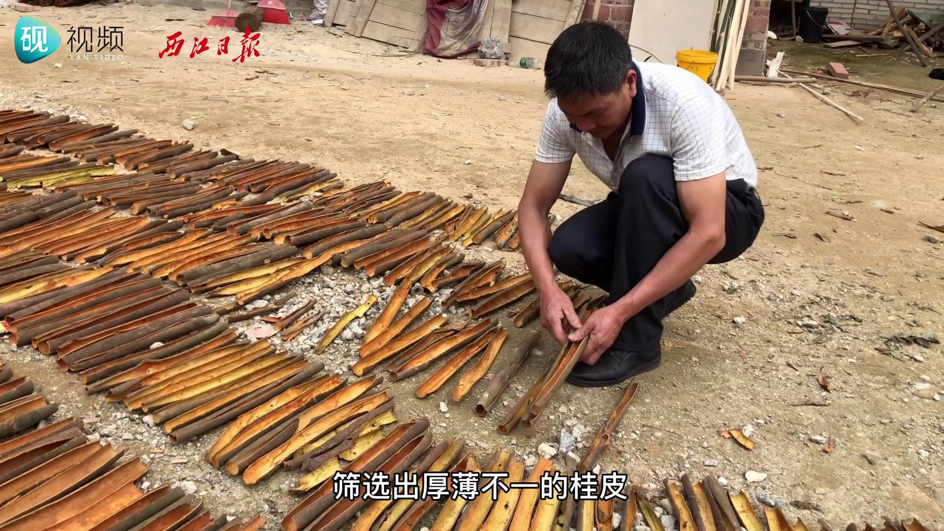 """高要区河台镇廊源村:肉桂树成""""摇钱树"""" 助力乡村产业振兴"""