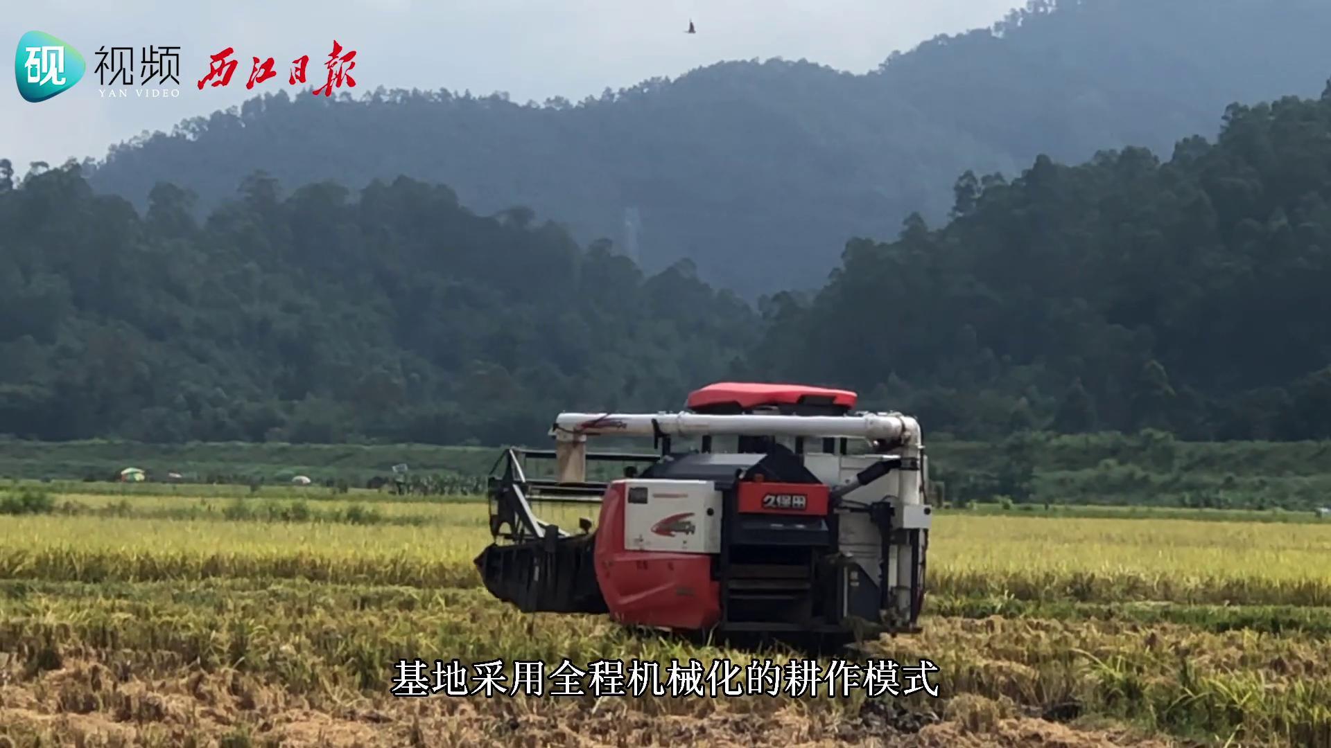 肇庆高要:夏季水稻获丰收 田间机械收割忙