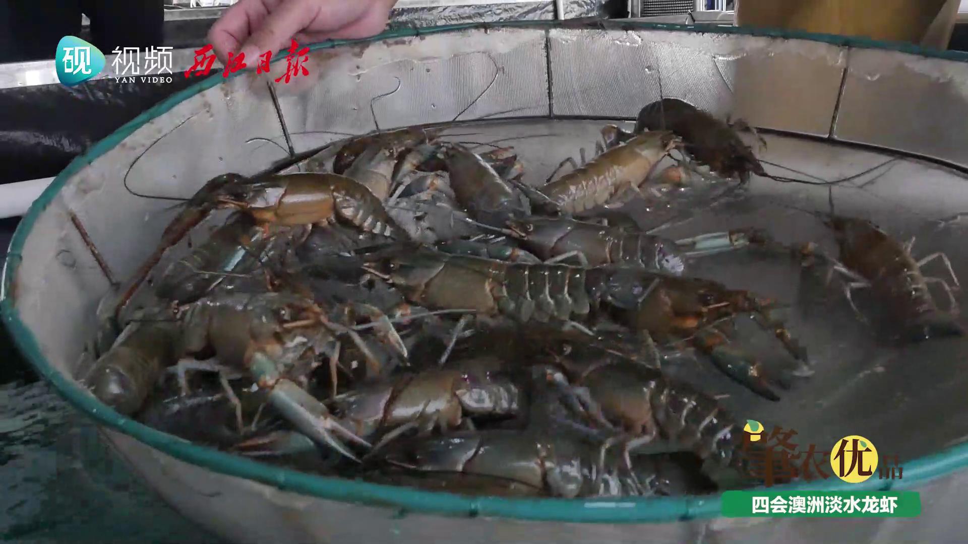 【肇农优品】四会澳洲淡水龙虾